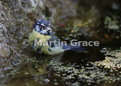 European Blue Tit (Cyanistes caeruleus) bathing in the garden pond, Lake District National Park, Cumbria, England
