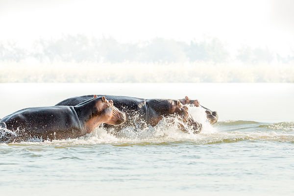 Hippos Crossing Zambezi River I