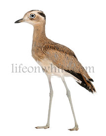 Peruvian Thick-knee, Burhinus superciliaris, 5 months old, in front of white background