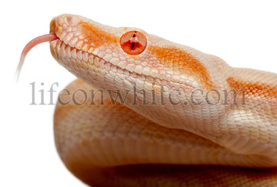 Close-up of Albinos Boa constrictor, Boa constrictor, 2 months old, in front of white background