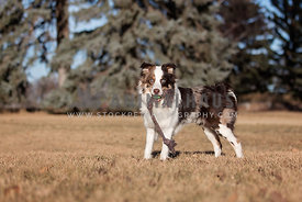 Australian Shepherd Stading with Toy in Sun