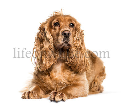 English Cocker Spaniel lying in front of white background