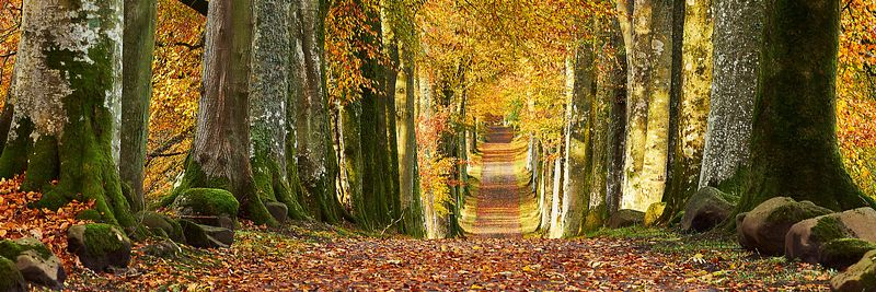 Image - Beech tree lined driveway entrance in autumn, Drummond Gardens, near Crieff, Perthshire, Scotland.