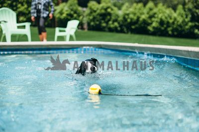 Black and white dog swims towards toy floating in the pool