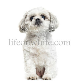 Shih Tzu, the Chrysanthemum Dog sitting in front of white background