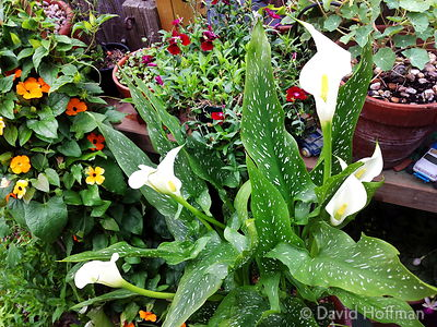 2015-07-12 11.47.26 Flowers in an inner city garden, 9 July 2015.