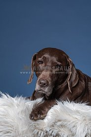 older chocolate lab laying on blanket with blue background