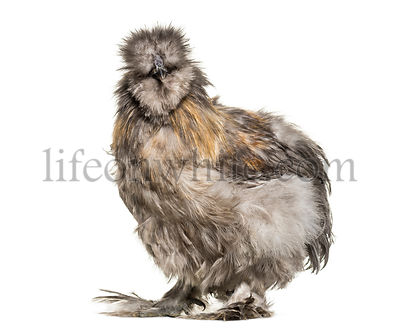 Silkie hen, sometimes spelled Silky, standing against white background