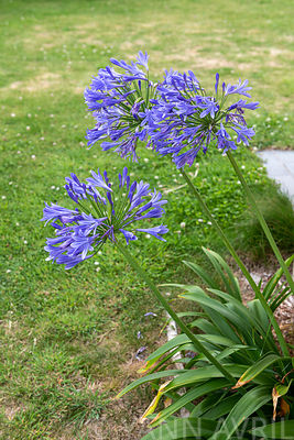 Agapanthe (Agapanthus sp) in bloom in a garden in summer, Hauts de France, France ∞ Agapanthes en fleur dans un jardin, Franc...