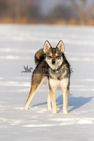 An Alaskan Klee kai dog in the snow