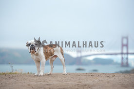 english bulldog standing on beach on foggy day with Golden Gate Bridge in background