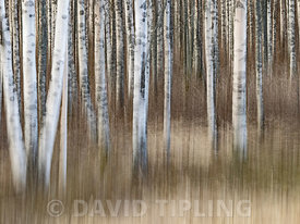 Silver Birch forest near Liminka Finland winter