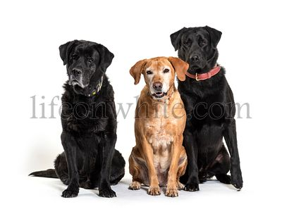 Group of Labrador Retriever dogs, isolated on white