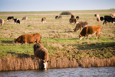 070112_HalstowMarshes_65 Cattle drinking, Halstow marshes, Thames Estuary, Kent.