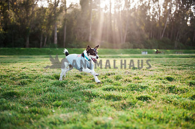 A jack russell terrier happily running through a field of green grass