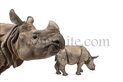 Mummy Indian rhinoceros and her baby