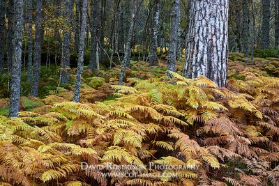 Image - Scots Pine tree trunk and bracken in autumn, Glen Affric, Inverness, Highland, Scotland