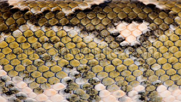 Close-up of Boa manditra snake skin, Sanzinia madagascariensis, 2 years old