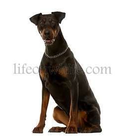 Doberman sitting in front of a white background