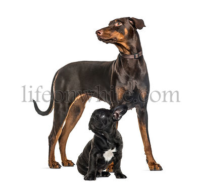 Doberman Pinscher, Black French bulldog sitting, in front of white background
