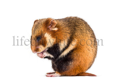European hamster, Cricetus cricetus, sitting and grooming in front of white background