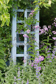 Lunaria (honesty) and nepeta against climber support