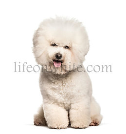 Bichon Frise sitting against white background