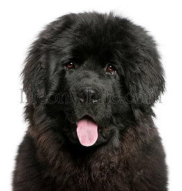 Close-up of Newfoundland puppy panting, 6 months old, in front of white background