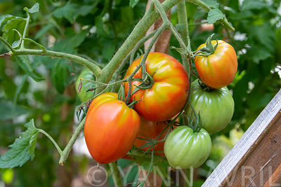 "Tomato (Solanum lycopersicum) ""heart of beef"" in a kitchen garden∞Tomates ""coeur de boeud"" dans un potager, France, Moselle, été"
