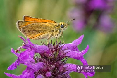 BUTTERFLY 56A - Small skipper