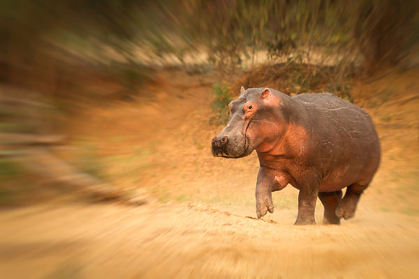 Hippo (Hippopotamus amphibius) running to the water, Lower Zambezi NP, Zambia.