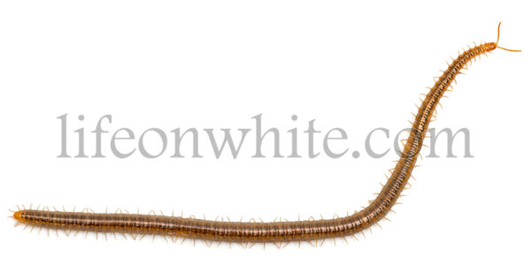 Centipede in front of white background