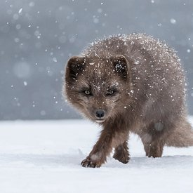 Arctic Fox in snow storm