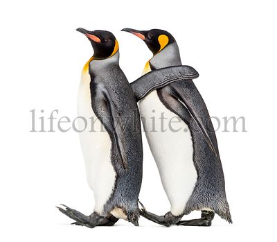 side view of Two King penguin walking together, isolated