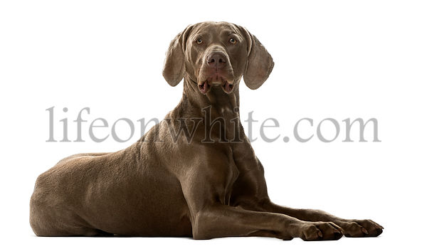 Weimaraner  lying in front of a white background
