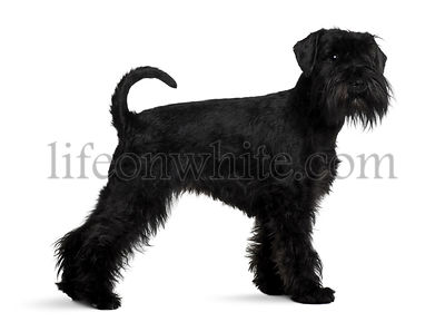 Schnauzer, 2 years old, standing in front of white background