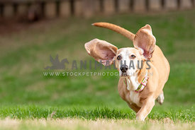basset hound mix running in grass with big ears flying