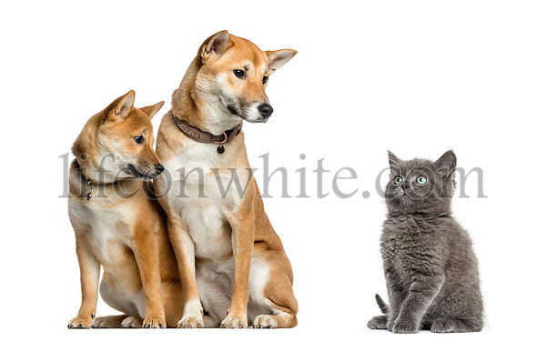 Cat and dogs looking at each other, isolated on white