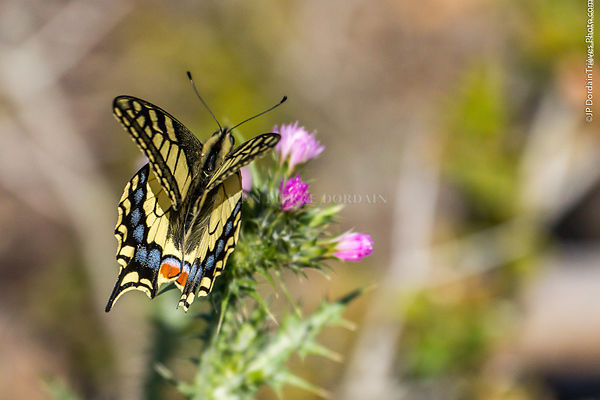 machaon-4