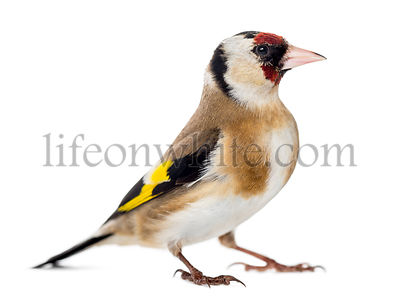 European Goldfinch, carduelis carduelis, standing, isolated on white