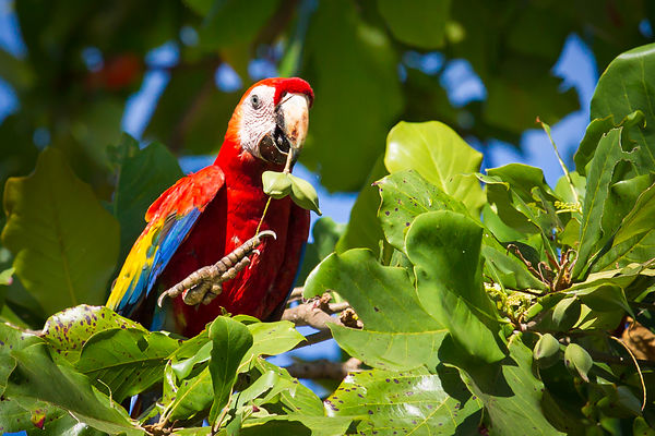 Scarlet Macaw Eating Almonds