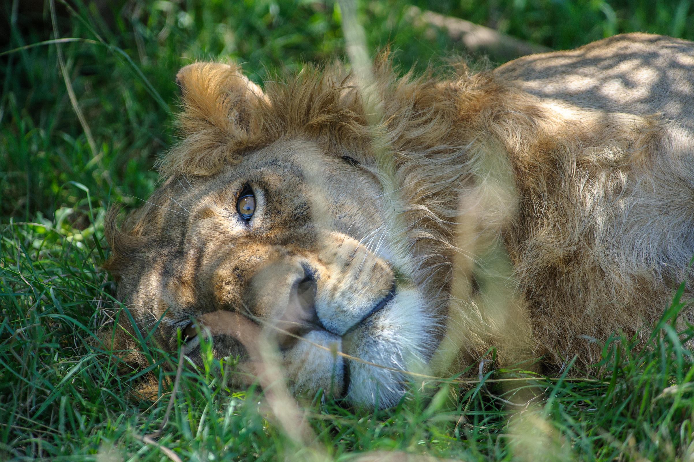 Snoozing Lion
