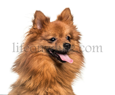 Pomeranian, 1 year old, in front of white background