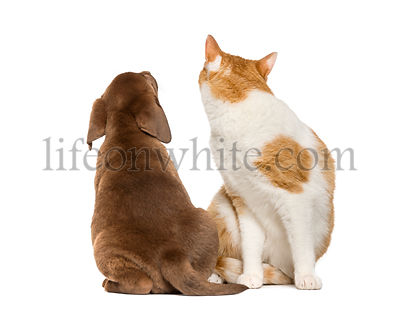Cat looking back and back view of a Labrador Retriever Puppy looking up, in front of white background