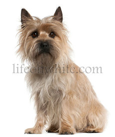 Cairn Terrier, 18 months old, sitting in front of white background