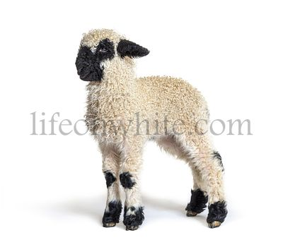 Side view of a Lamb Blacknose sheep three weeks old, isolated on white