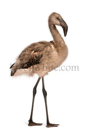 Portrait of Chilean Flamingo, Phoenicopterus chilensis, 5 months old in front of white background