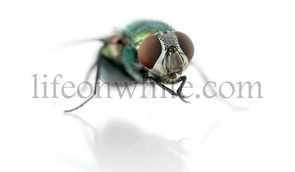 Common green bottle fly having a wash, Phaenicia sericata, isolated on white