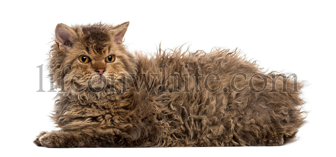 Side view of a Selkirk rex lying, isolated on white