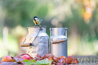 Mésange charbonnière posée sur un pot à lait, France, Moselle, automne ∞ Great tit posed on a milk jug, France, Moselle, autumn.